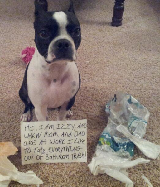 Boston Terrier Shaming