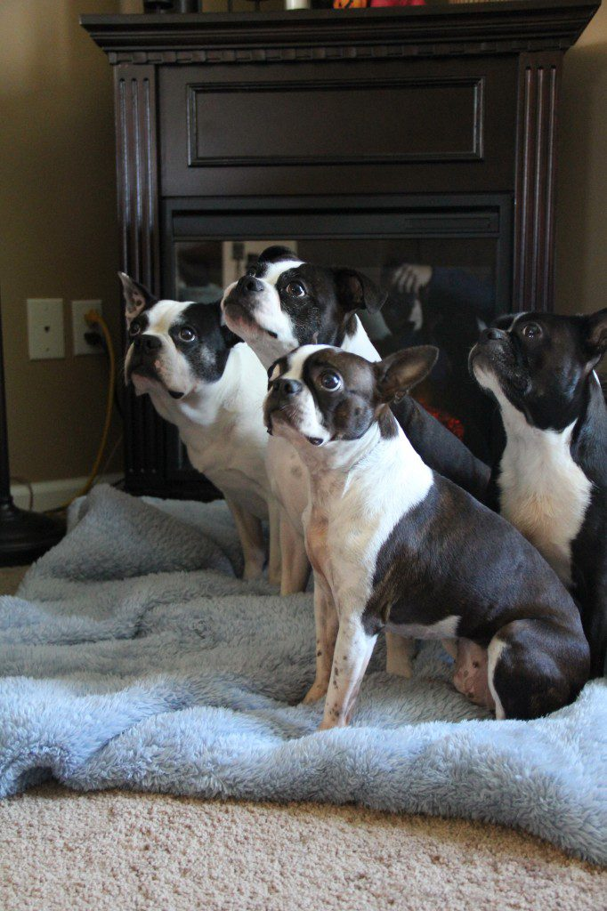 Boston Terrier Clan