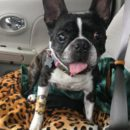 Betty The Boston Terrier Needs A Loving Home